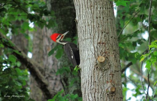 Pileated Woodpecker - Apr 30
