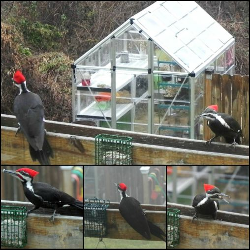 I was sitting on my couch one early morning and 3 of these pilated woodpeckers landed.I crawled in t