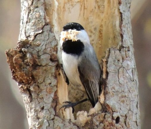 Carolina Chickadee cleaning out a hollow in a tree.