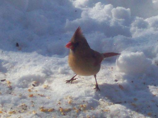 Happy Cardinal
