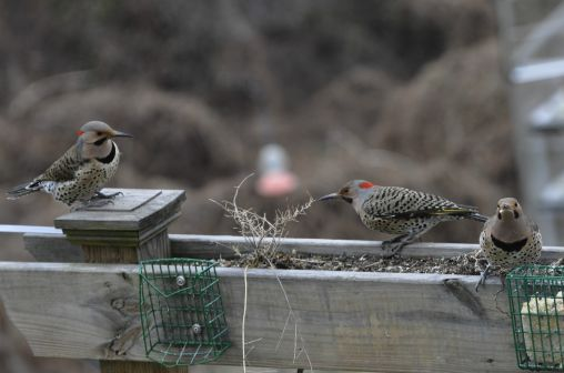 Nothern yellow shafted woodpeckers How luky to get 3 at the same time????
