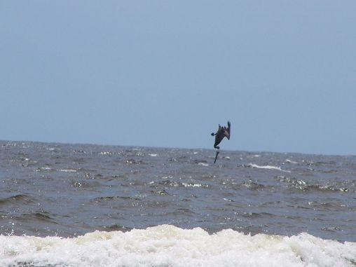 pelican diving  in ocean