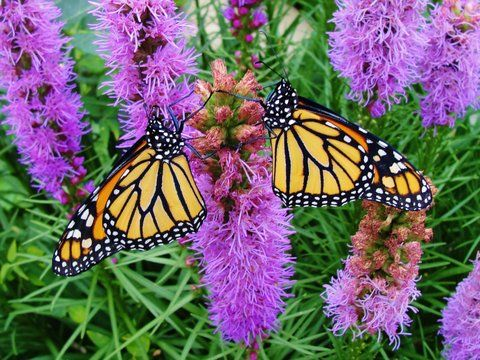 Two male monarchs drying their wings.