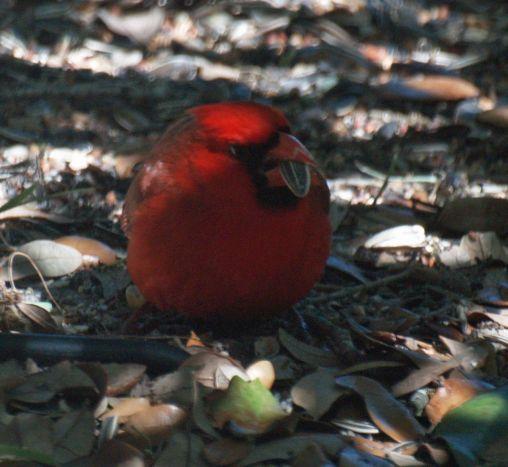 Cardinal Enjoying Sunflower Seeds