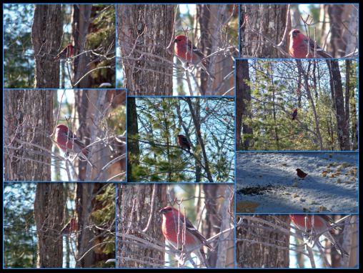 Pine Grosbeak Collage 2013