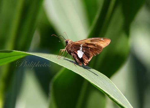 Silver Spotted Skipper Butterfly on a Corn Stalk