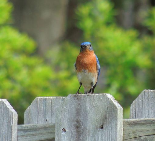 Eastern Bluebird in the backyard today - Apr 11