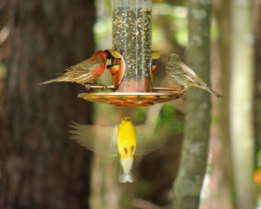 Male and Female House Finch and a Goldfinch - Apr 10
