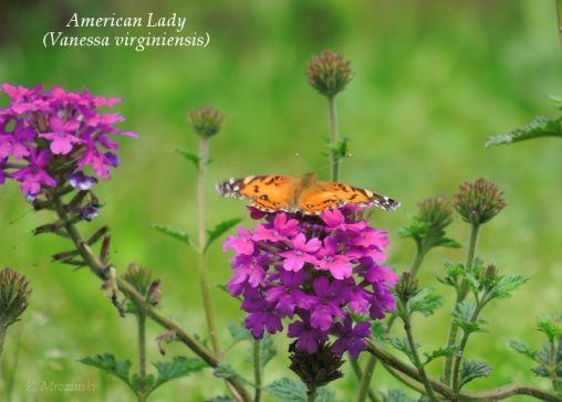 American Lady and Verbena -  Apr 12