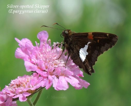Silver-spotted Skipper and Pincushion flower (Scabiosa) - Apr 13