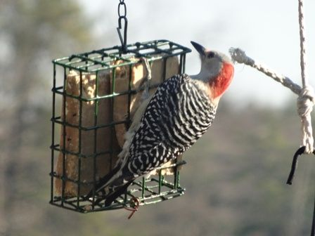 Red Bellied  woodpecker at   Homemade  Organic Suet