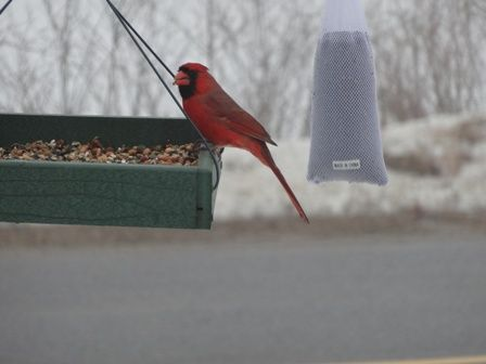 Feeding with seeds  nuts and fruit  ... Cardinal