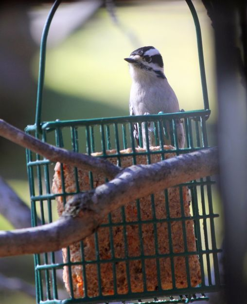 downy woodpecker eating some suet