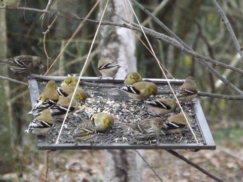 Pine Siskins and Gold Finches eating on my homemade bird feeder.