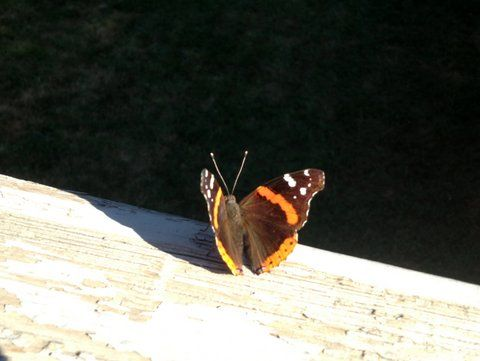 Anyone know what kind of butterfly this is?