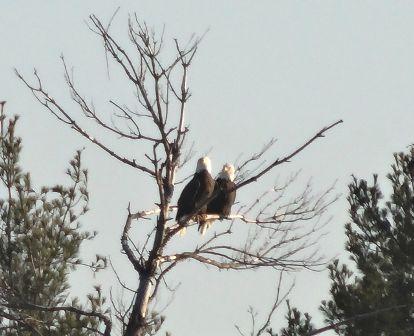 Eagles  ~  Love  Birds ...