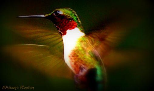 Ruby Throated Humming Bird Flying