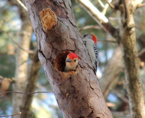 This is the home of a Red-bellied Sapsucker couple that live in the woods behind my home.